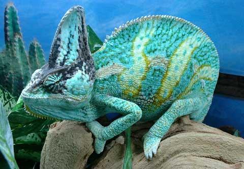 Veiled Chameleon Picture